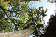 Giant Stinkwood Trees in the Fernkloof Nature Reserve