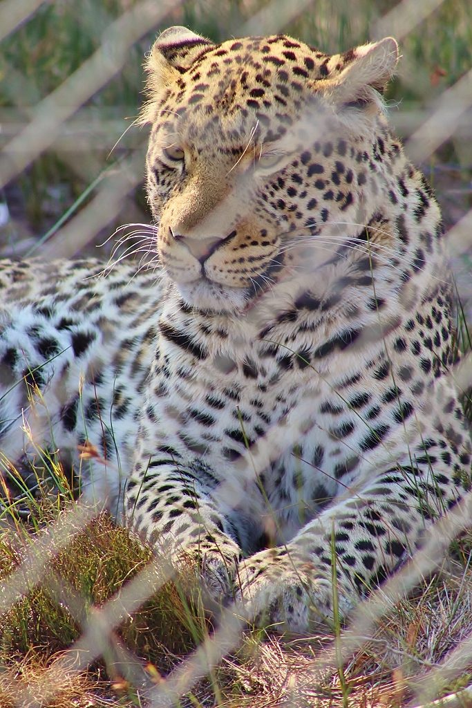 Zorro the male leopard at Panthera Africa