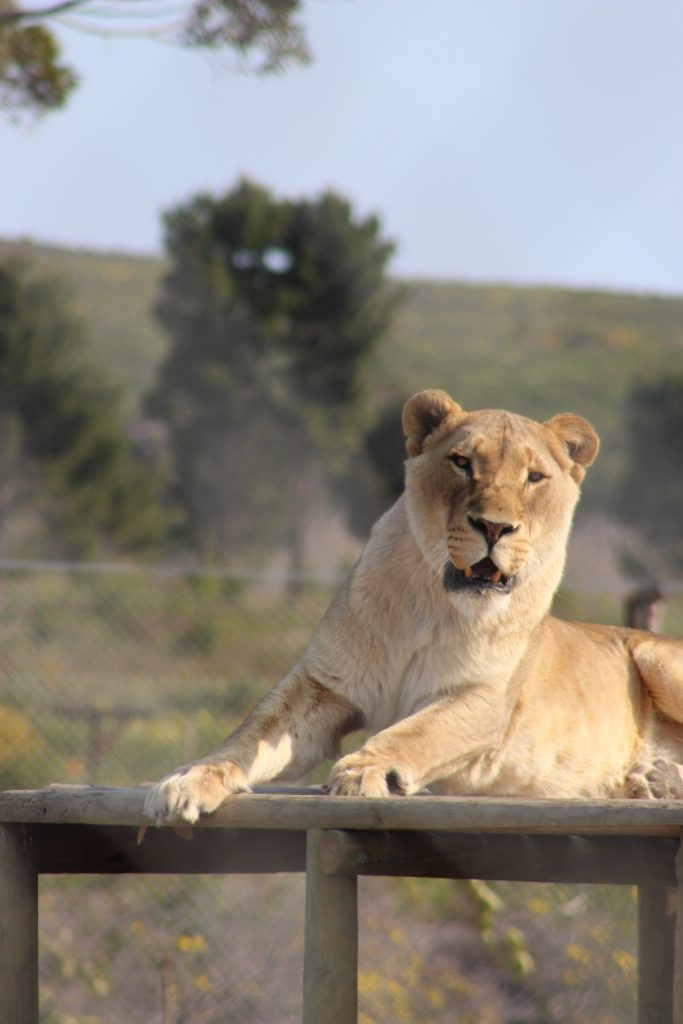 Achilles the Lion at Panthera Africa
