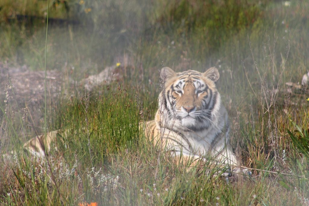 Raise the male Tiger at Panthera Africa