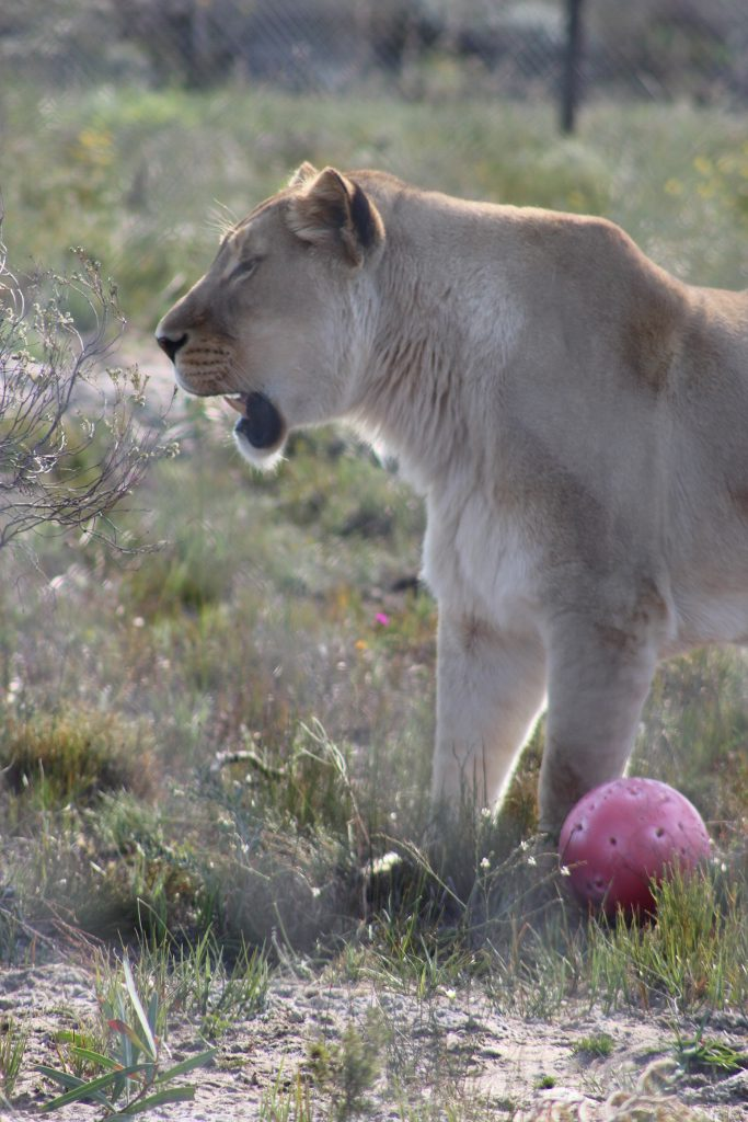 Achilles the Lion loves swiming and playing with his ball