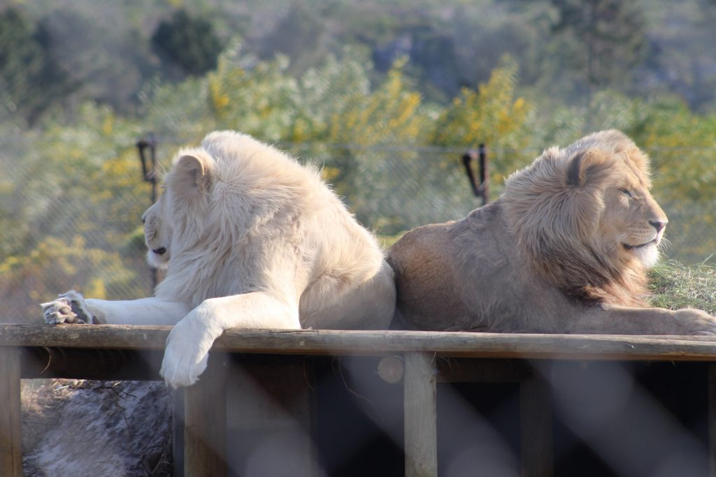 Oliver and Obi Lion brothers at Panthera Africa