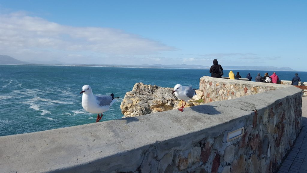 Sea Gulls enjoying a stunning winters day in Hermanus