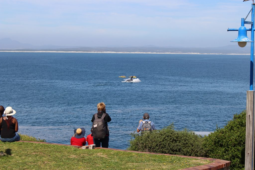 Southern Right Whale Breaching in Walker Bay